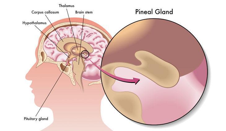 pijnappelklier - WHAT IS MELATONIN ,AND WHAT DOES MELATONIN DO IN YOUR BODY