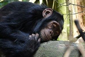 hoe slapen apen