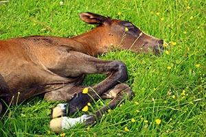 hoe slapen paarden